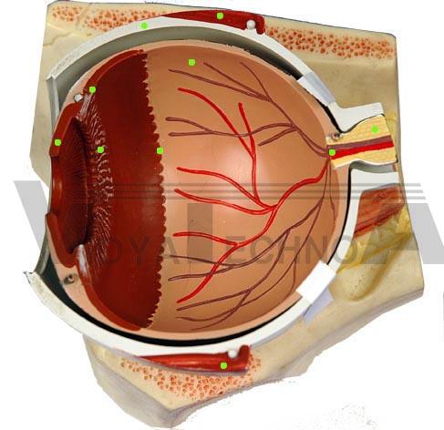 Eye Internal Anatomy Supplies Eye Internal Anatomy In India Eye