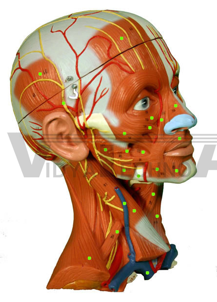 Head/neck Muscles Models India, Head/neck Muscles Models ...