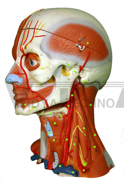 Head/neck Muscles: Left Side, Head/neck Muscles: Left Side Exporters ...