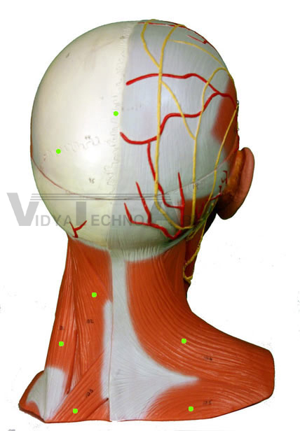 Head/neck Muscles: Posterior Exporters, Head/neck Muscles: Posterior ...