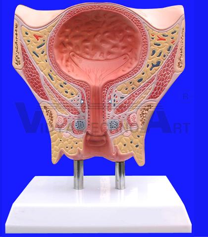 Female Urinary Bladder Model In India Female Urinary