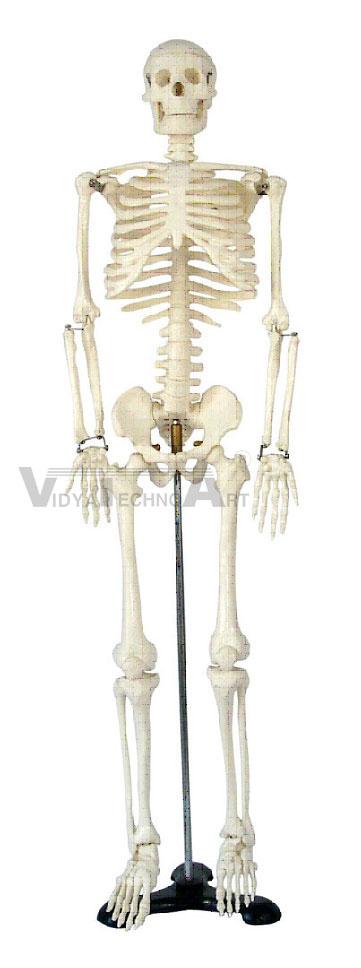 Medium Skeleton 85 CM Tall
